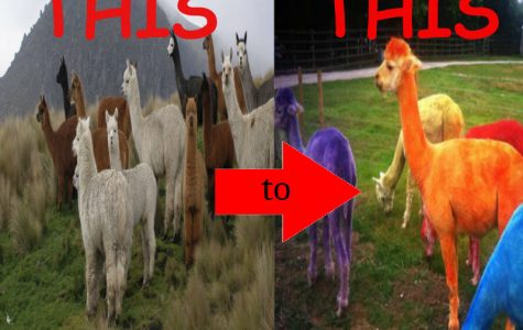 HOW TO DYE AN ALPACA